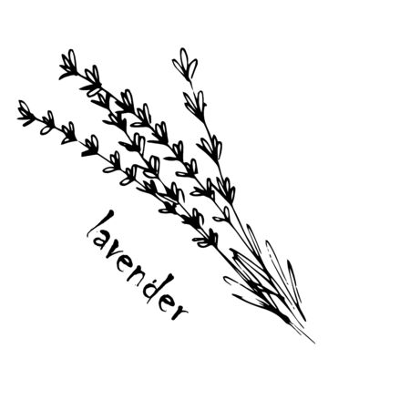 Vector sketch herbs, spices, plants, seasoning kitchen silhouette on a white background, drawn black lines. Lavender twig