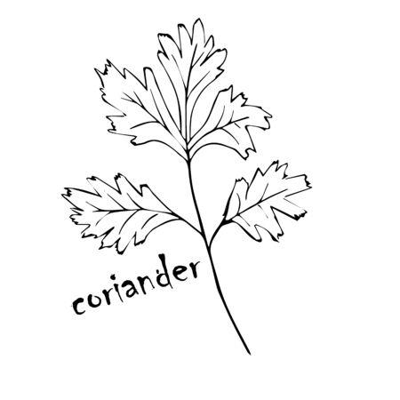 Vektorskizzenkräuter, Gewürze, Pflanzen, Gewürzküchensilhouette auf weißem Hintergrund, gezeichnete schwarze Linien. Korianderblatt Vektorgrafik