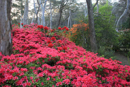 Rhododendrons photo
