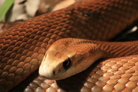 poisonous: Taipan, poisonous snake