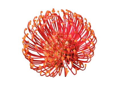protea flower: Isolated Protea Flower