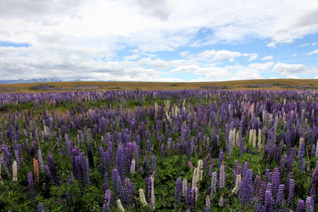 lupins: Wild lupins on the roadside Stock Photo