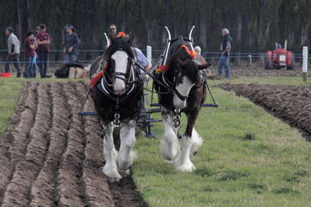 ploughing: Ploughing Horses Editorial