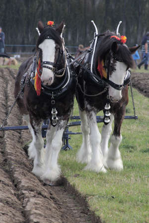 clydesdale: Ploughing Horses Stock Photo