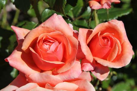 blooms: Pink orange rose blooms