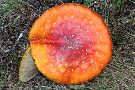 agaric: Red Fly Agaric Toadstool