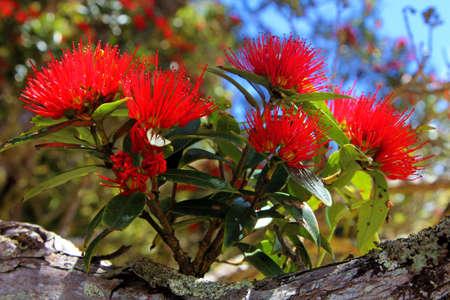 남부 Rata 붉은 꽃