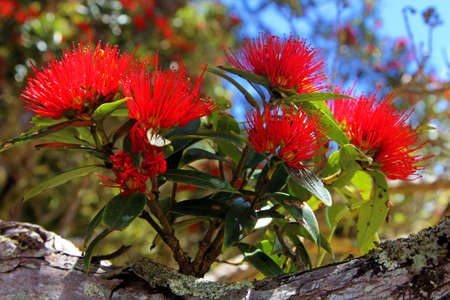 Southern Rata red flower