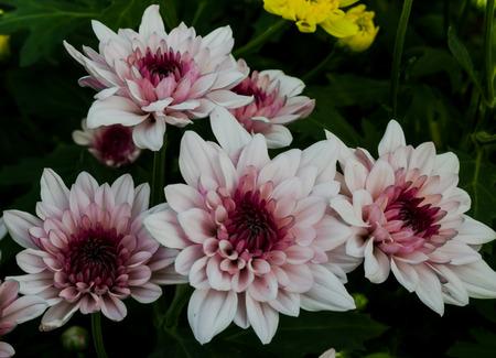Pink chrysanthemum flower  in Thailand garden