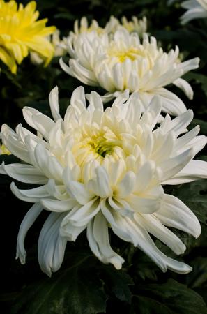 Close up and texture white chrysanthemum flower stock photo picture close up and texture white chrysanthemum flower stock photo 95443804 mightylinksfo