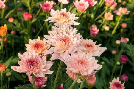 pink chrysanthemum flower with red pollens in garden Stock Photo