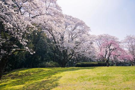 Kwiaty wiśni w pełnym rozkwicie