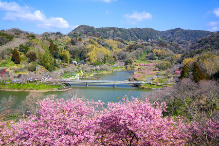 Kawazu cherry blossoms in full bloom