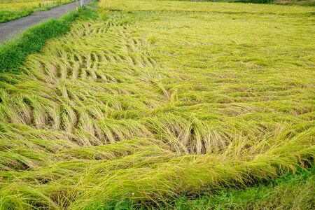 Rice fields damaged by typhoon storms Stok Fotoğraf - 131335405