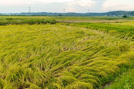 Rice fields damaged by typhoon storms Stok Fotoğraf - 131335415