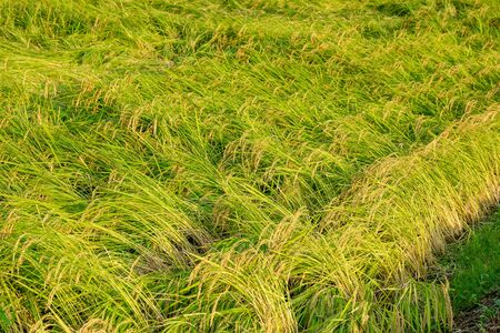 Rice fields damaged by typhoon storms