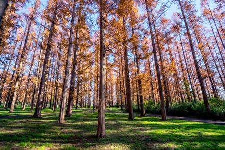 Foliage of Metasequoia