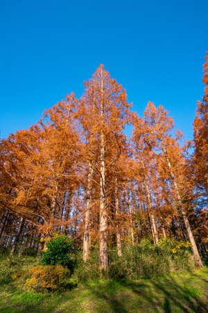 Foliage of Metasequoia 스톡 콘텐츠