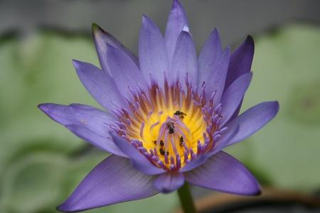 indian creek: lotus purple