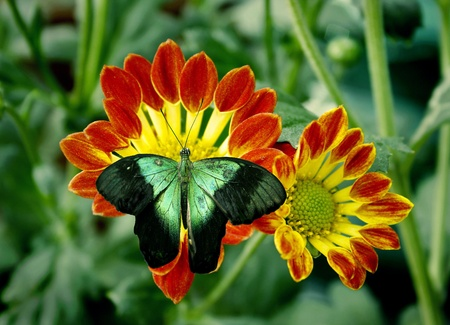 green black butterfly on a colorful flower in the garden photo