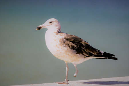 gull with only one foot