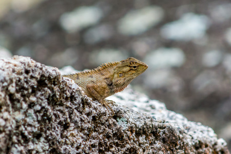 small reptiles: Lizard on the rock