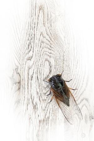 cicada bug: The cicada stop on the wooden board Stock Photo
