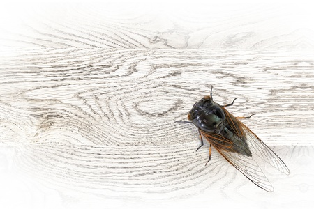 The cicada stop on the wooden board photo