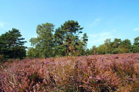 Heath bloom in full splendor? Fischbeker / L?neburger Heide flowers purple