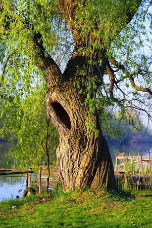 An old hollow willow along the Danube. photo