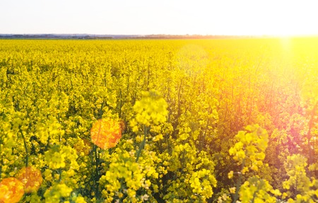 A big beautiful rape field blossoming somewhere in middle Europe.