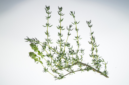 Sprig of thyme in white background, with backlight. Zdjęcie Seryjne - 62545060