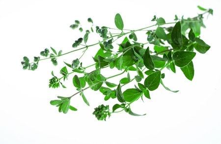 Sprig of fresh marjoram in white background. Stock Photo