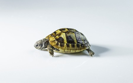 A young greek tortoise in white background.