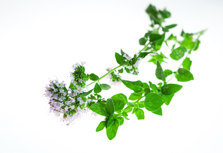 Sprig of fresh oregano in white background. Zdjęcie Seryjne