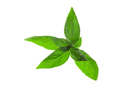 Basil leaves in backlight with white background.