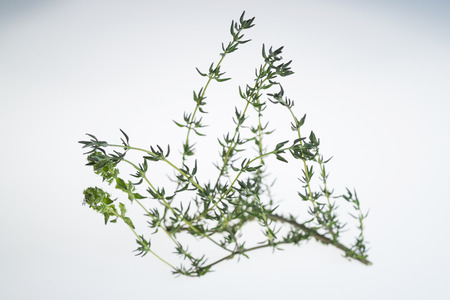 Sprig of thyme in white background, with backlight.