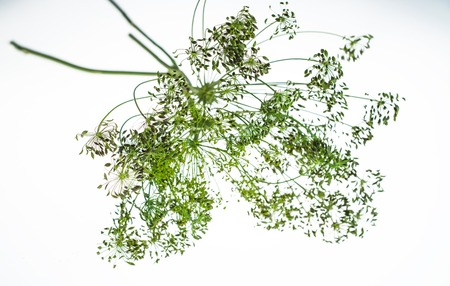 Sprig of dill flower in white background. Zdjęcie Seryjne