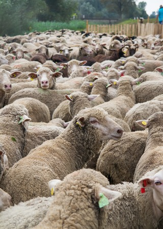Different breed of sheeps in a large flock. Zdjęcie Seryjne - 66563261