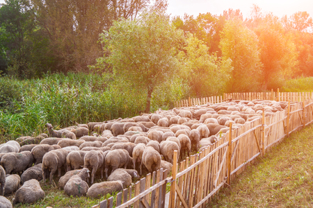 Different breed of sheeps in a large flock. Zdjęcie Seryjne