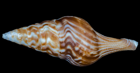 Sea shell on a black background. Stock Photo