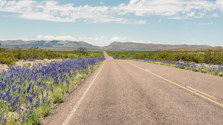 Bluebells along the roadside, Panther Junction-Persimmon Gap area, Big Bend National Park, Texas. Фото со стока - 42561015