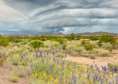 drench: Spring rains over the Chisos Mountains irrigate bluebells and paper flowers near Route 12, Big Bend National Park, Texas