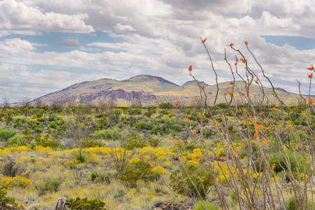 ocotillo: Ocotillo and Paper Flowers near the Chisos Mountain Range, Big Bend National Park, Texas.