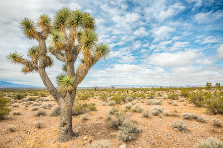 Mighty Joshua tree, near Old Highway 91, Beaver Dam Wash National Conservation Area, Nevada.