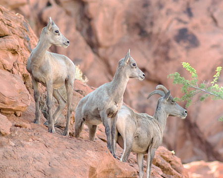 Three bighorn sheep climbing on the rocks in the Valley of Fire State Park, Nevada