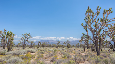 Joshua tree forest in the Mojave National Preserve, California.