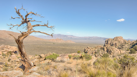 Tree snag on Teutonia Peak Trail, in the Mojave National Preserve, California. Фото со стока - 43178182