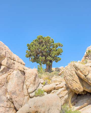 Sentinel tree at the high point on Teutonia Peak Trail, in the Mojave National Preserve, California.