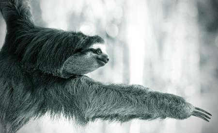 oso perezoso: negro y blanco pereza